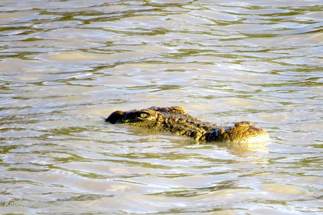 crocodile-lurking-in-the-water
